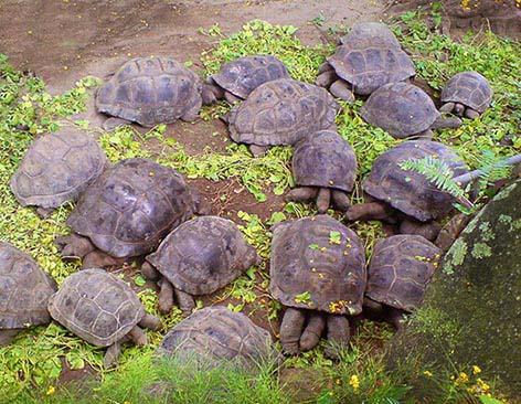 giant tortoise eating