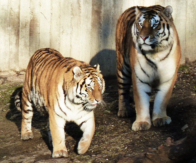 two standing amur tigers
