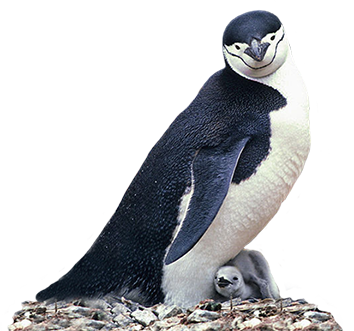 manchot penguin and child