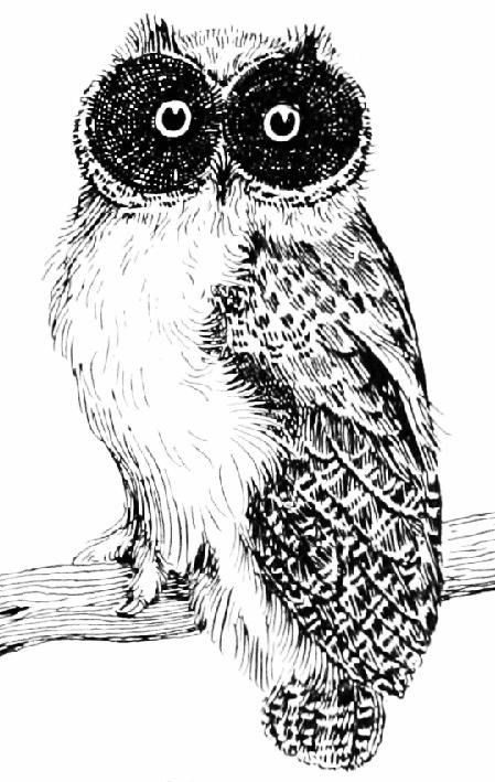 vintage owl drawing black white
