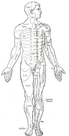 body diagram front