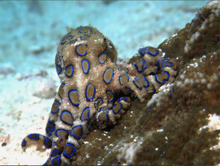 picture of blue ringed octopus