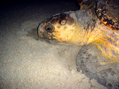 loggerhead female on beach at night