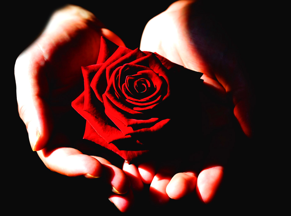 red red rose for Valentine's Day