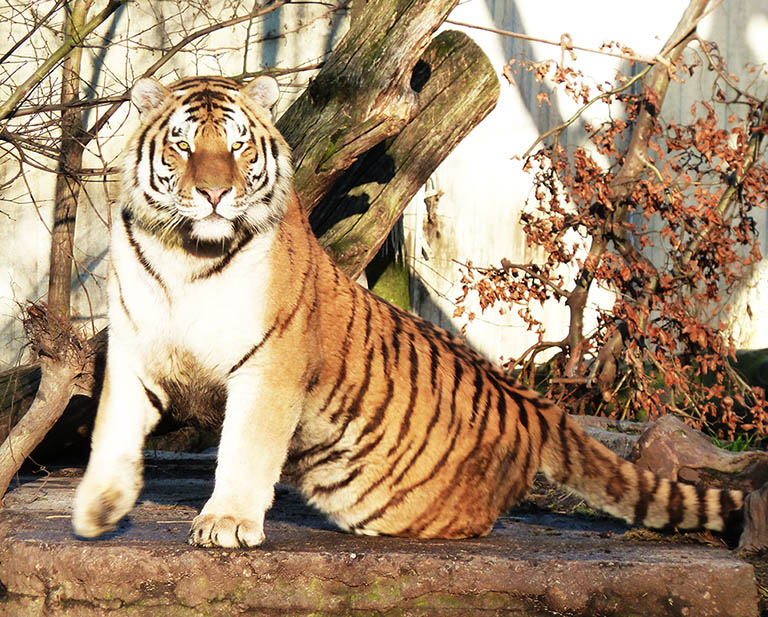hungry tiger clipart