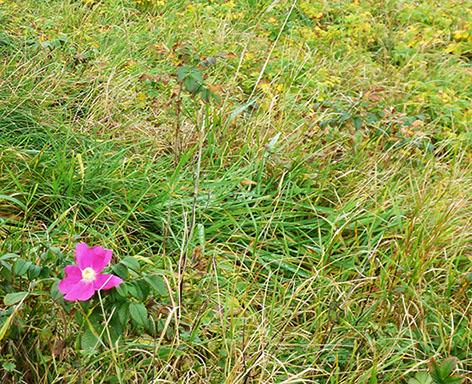 the last rosehip flower before winter