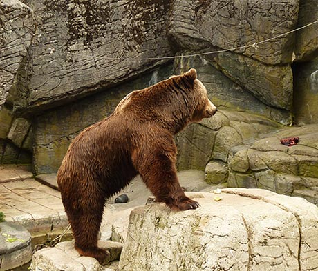 Brown bear looking at meat in Zoo