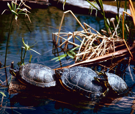 three red eared sliders near water