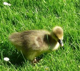 gesling in grass