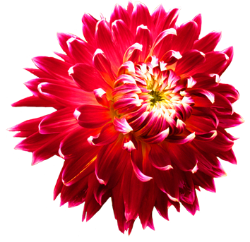 dahlia-flower head
