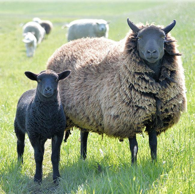 black lamb and black sheep