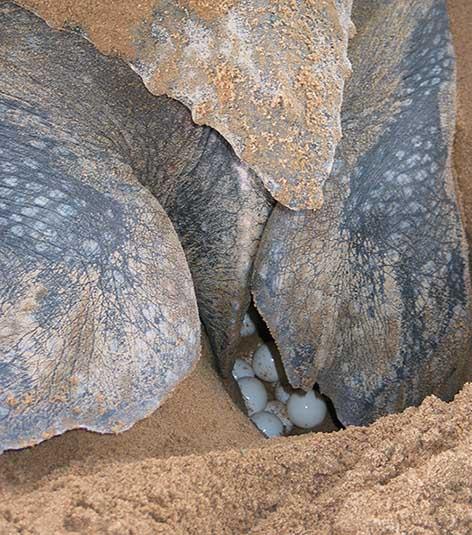 Leatherback sea turtle with eggs