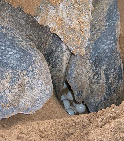 Leatherback sea turtle with eggs