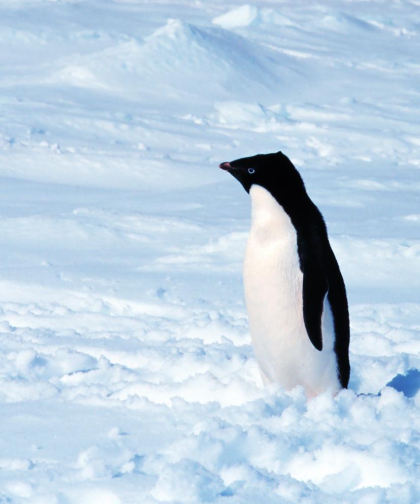 Adelie penguin pictures