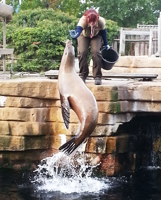 training of sea lion in zoo