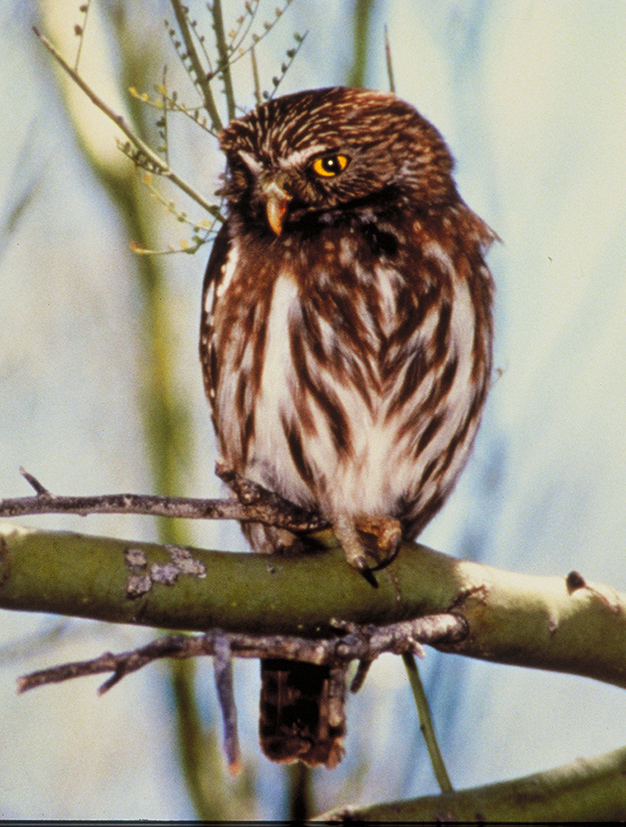 pygmy owl picture