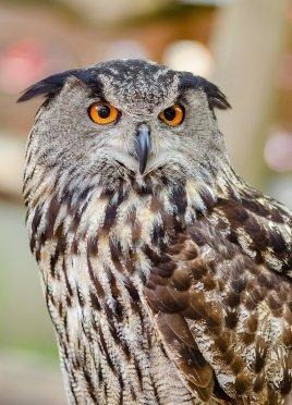Eurasian eagle owl picture
