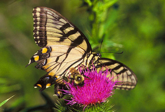 swallowtail and bumblebee