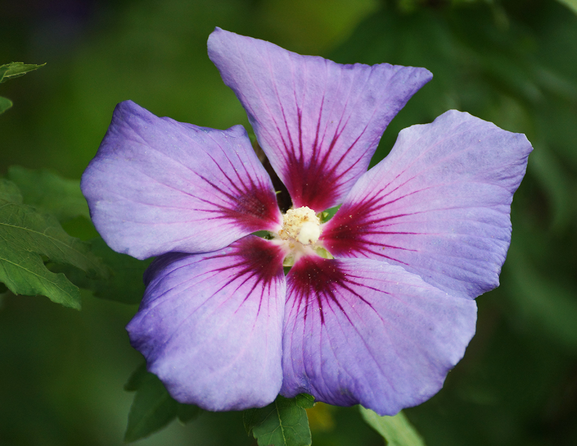 purple flower photo with red center