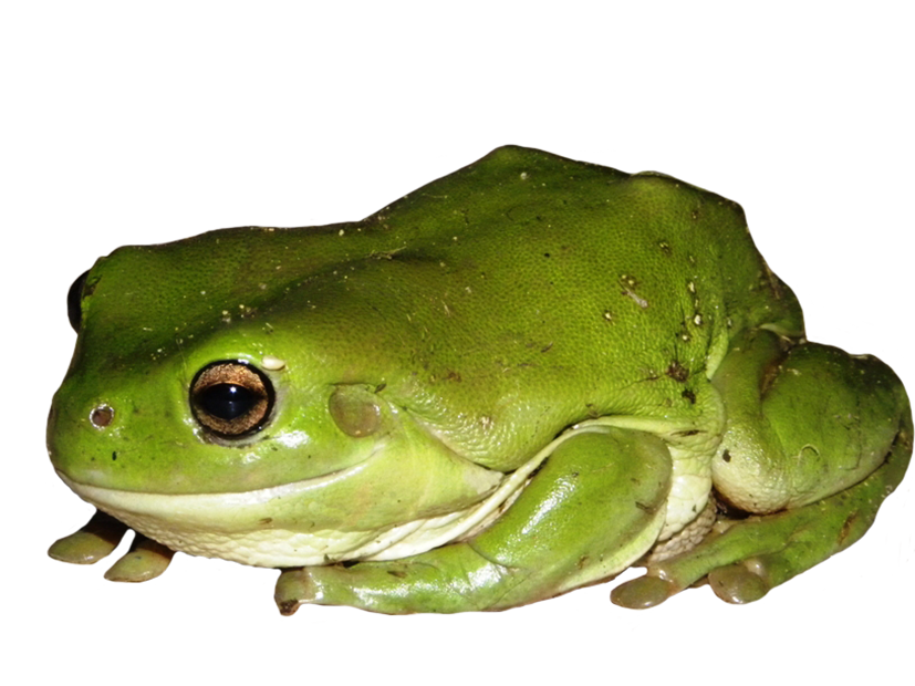 green tree frog clipart