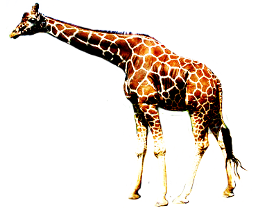 giraffe walking graphic