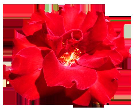 Red Valentine Rose clipart