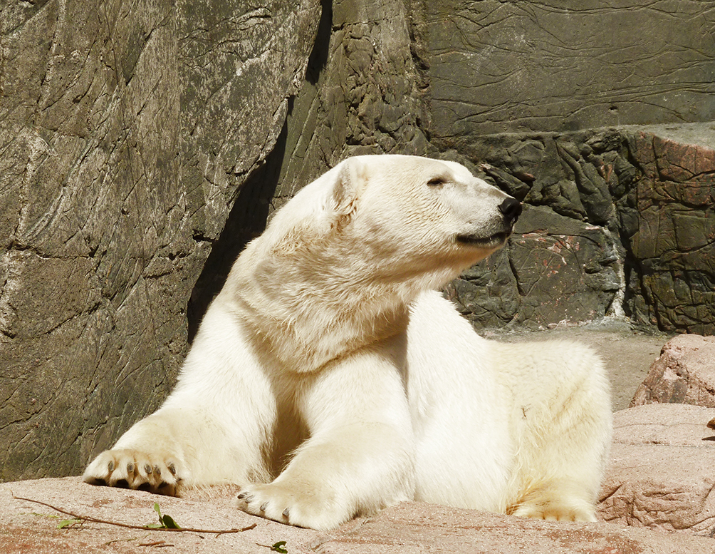 polar bear looking to the left