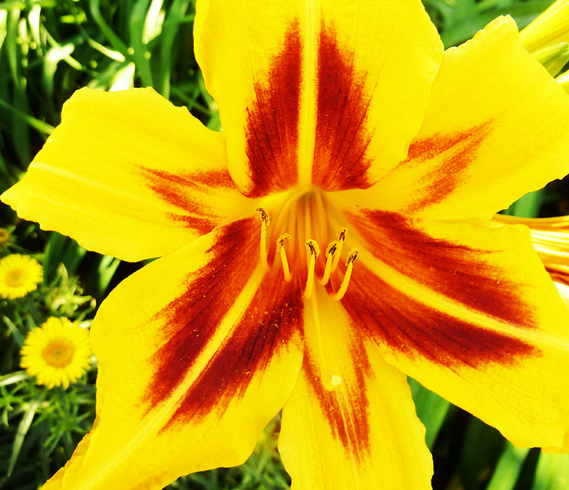 picture of lily yellow and red