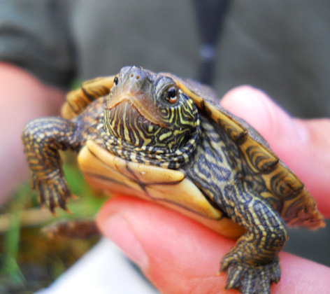Map turtle pictures
