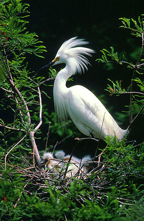 pictures of birds Egretta Thula