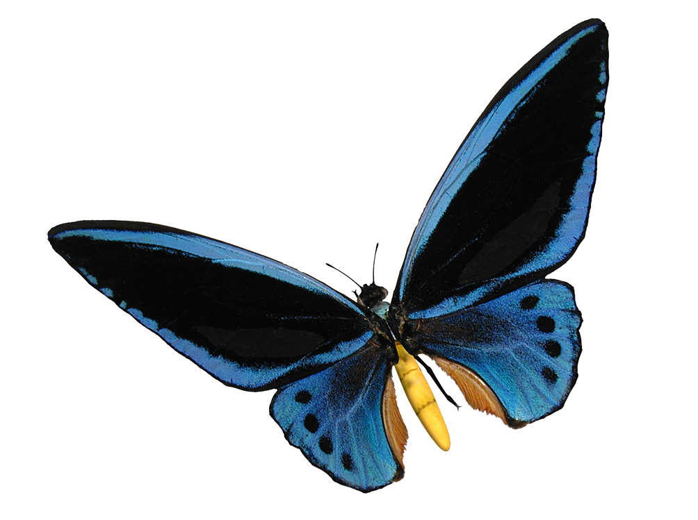 blue birdwing butterfly cut-out