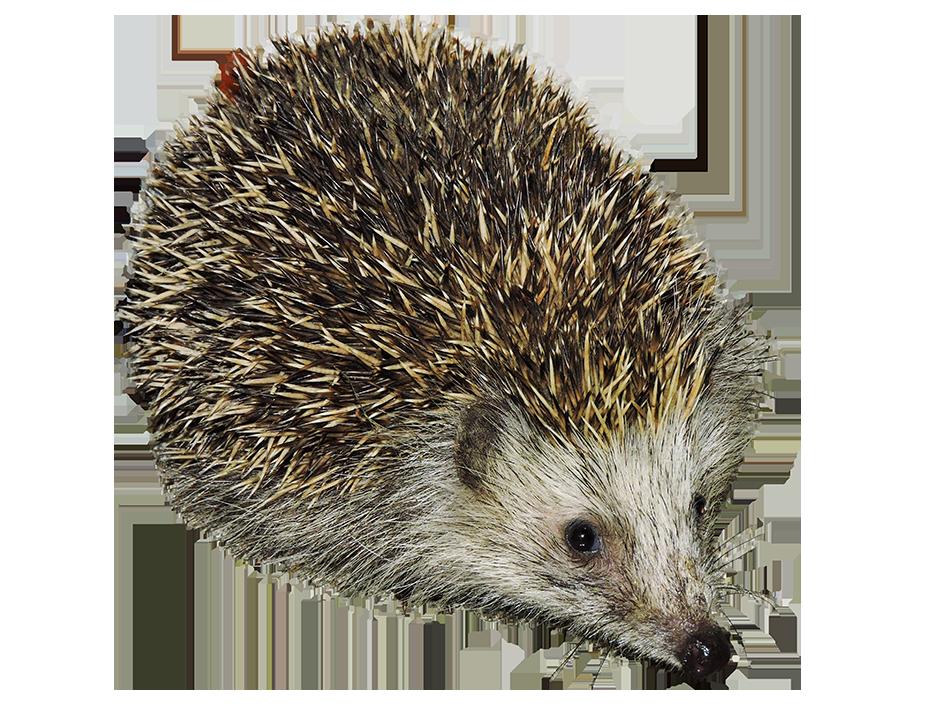 cut-out hedgehog transparent background