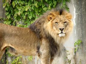 male lion in zoo clip art