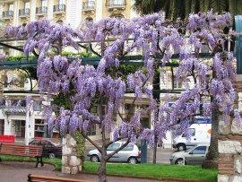 Wisteria blooming in Nice