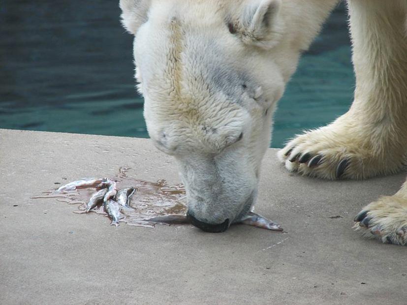 polar bear eating fish