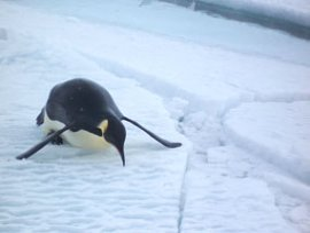 tobogganing penguin emperor