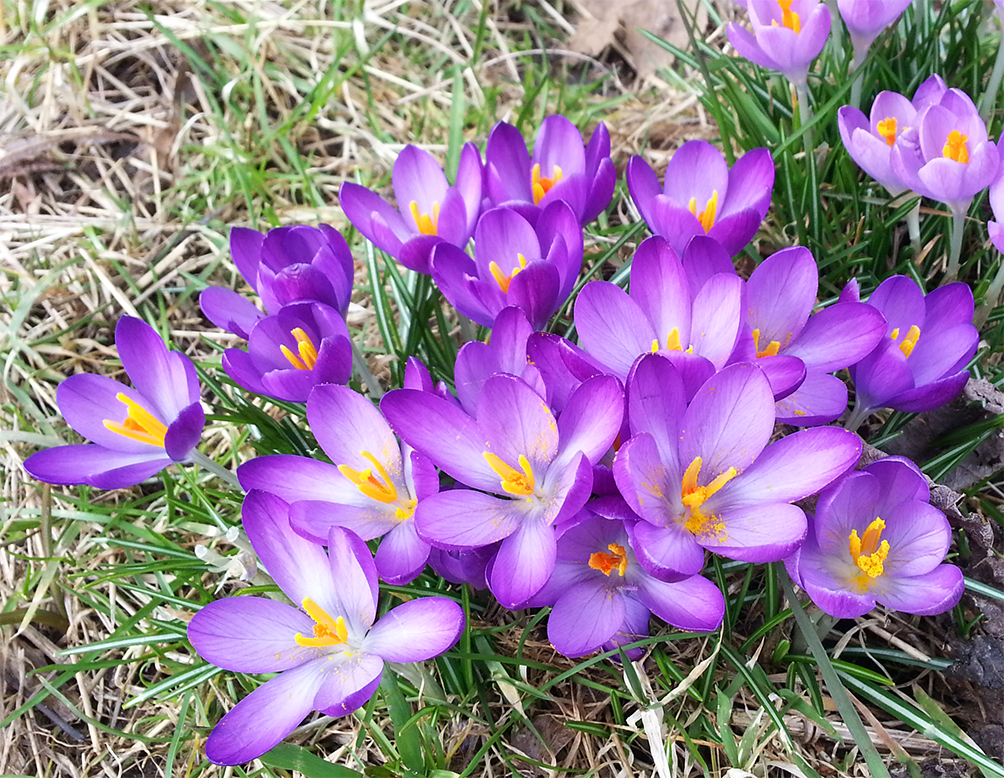 Purple crocus in spring