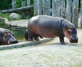 Three hippos coming up from water