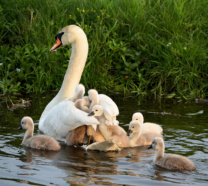 cygnets and mother swan