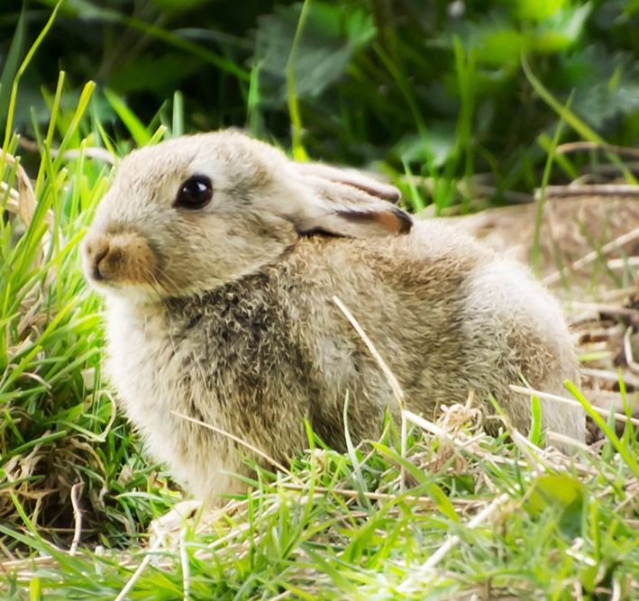 bunny in green grass