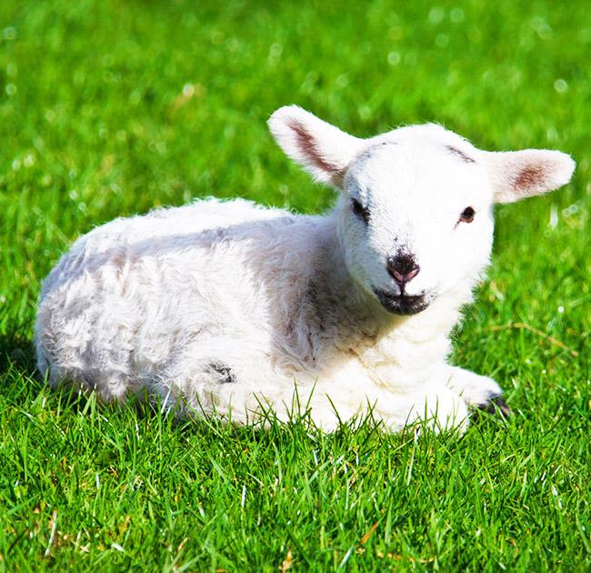 spring lamb in grass