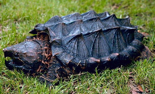 Picture of Alligator snapping turtle