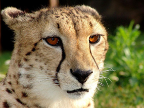 face of cheetah