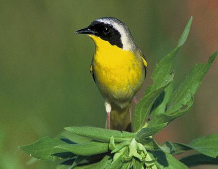 Hooded warbler on nest