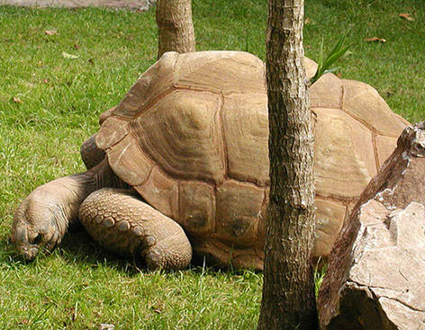 Giant Aldabra Tortoise eating