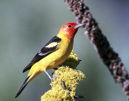 Western Tanager picture