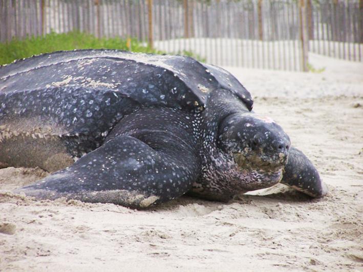 Big leatherback turtle on beach