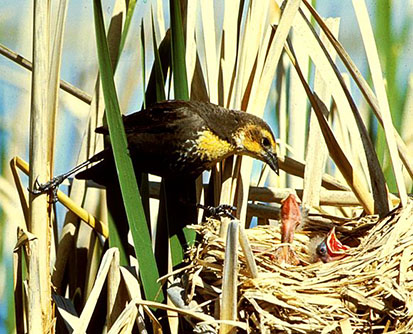 Yellow headed Blackbird feeding young in nest