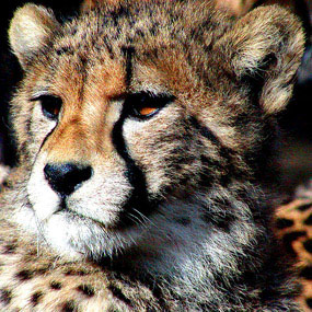 face of young cheetah