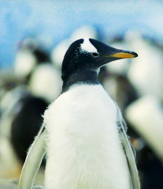 young Gentoo penguin